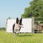 sheepdog-4
